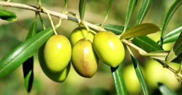 Produção de azeitona foi a maior dos últimos 50 anos