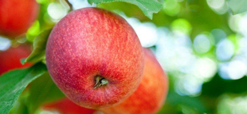 Continente compra 10 mil toneladas de maçã a produtores portugueses