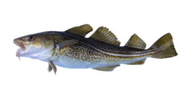 big cod fish on a white background