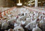 França proíbe venda de ovos de galinhas criadas em gaiolas