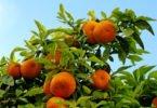 Continente vai comprar 10 mil toneladas de laranja do Algarve