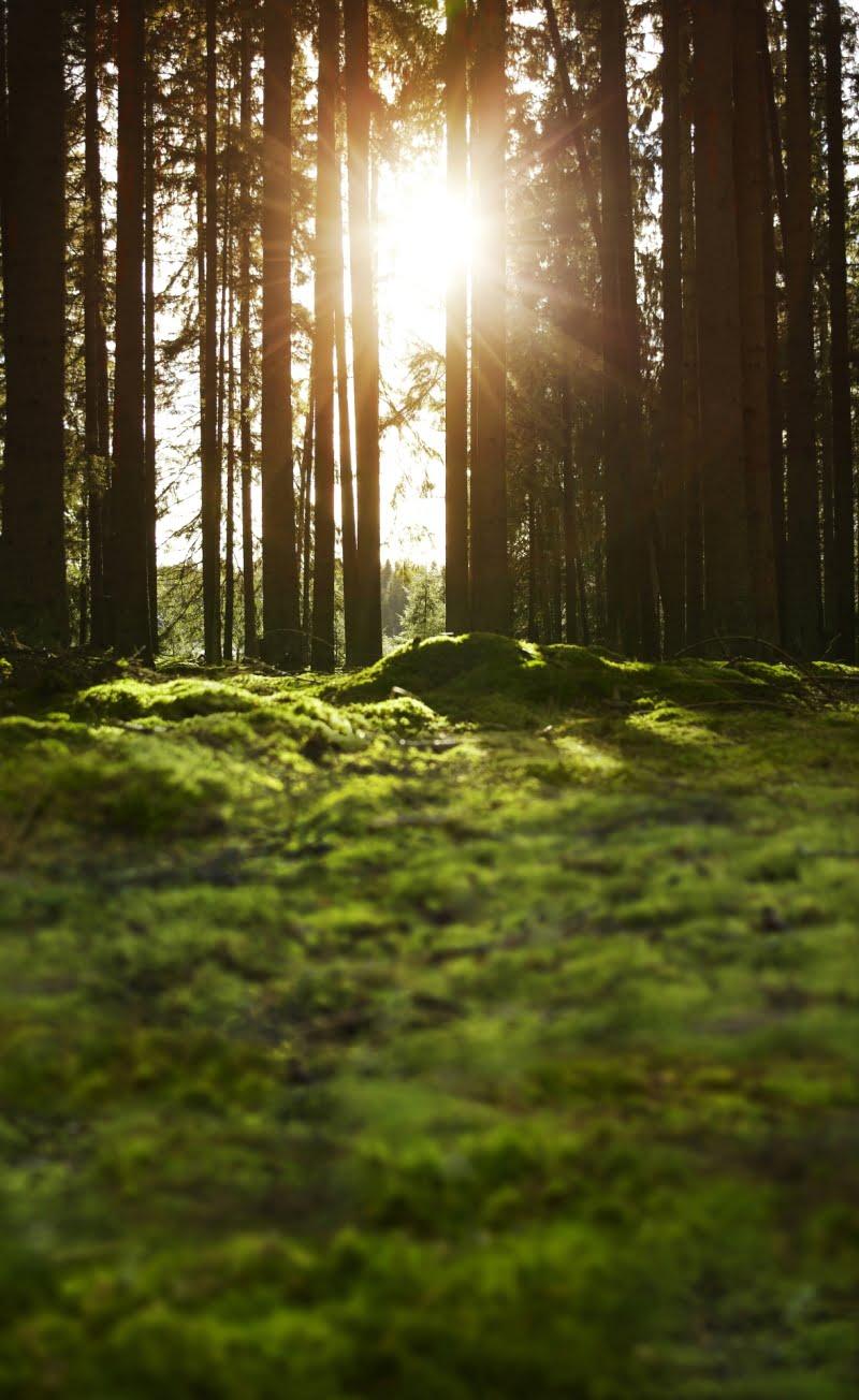 IKEA planta 1.750 árvores no Pinhal de Leiria