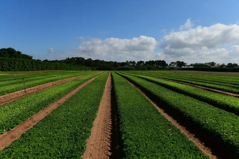 Vitacress testa o uso de algas como fertilizante orgânico