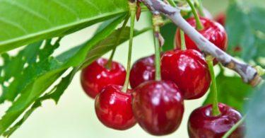 Continente vai comprar 550 toneladas de cereja a produtores portugueses